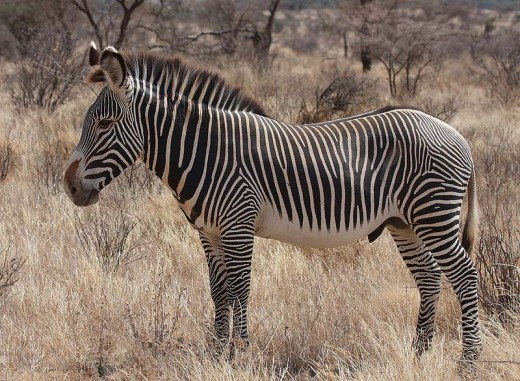 A Grevy's Zebra, the oldest species and what scientists believed the Hagerman Horse looked like.