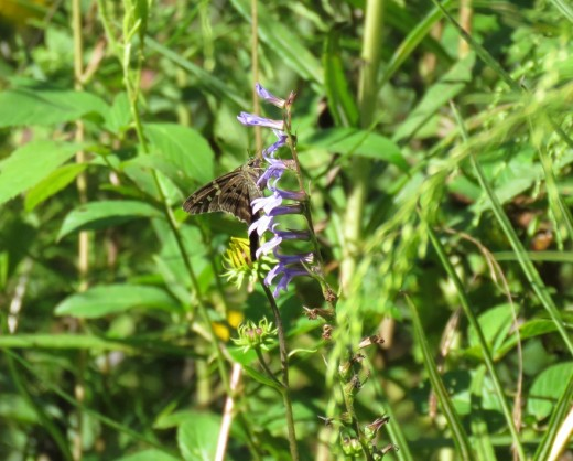 Long-tailed skipper butterfly feeding on blue lobelia in our habitat.