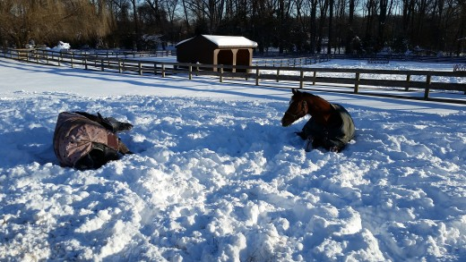 It's not too cold for the horses! They are bundled up and don't mind one bit!