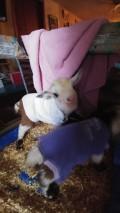 House Goats