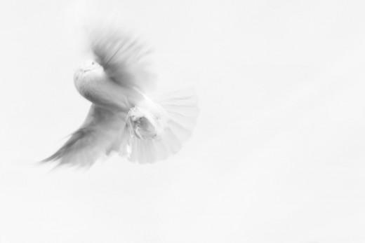 Flosca. Pixabay. (2018). Dove. (Image). Retrieved 10-17-2018 from https://pixabay.com/en/dove-pigeon-innocence-purity-893526/