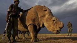 Blood, Medicine & Asian Black Markets: How Rhino Poaching Works?