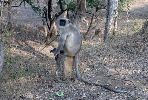 Langur (grey-tailed monkey)