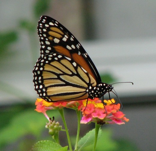 Most butterflies, including monarchs, are attracted to lantana.