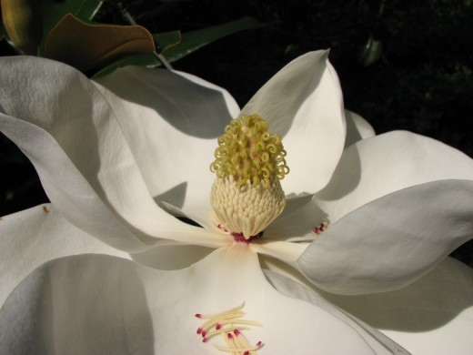 Magnolias have large, fragrant flowers. The seed cones are also attractive and the red seeds are eaten by many species of birds.