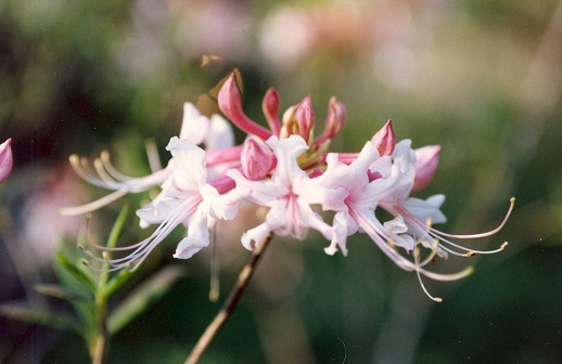 A lovely native pink azalea shrub will beautify the garden and attract pollinators for years.