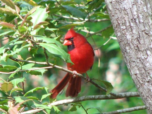 A bright red male cardinal in a holly tree.
