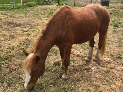 Then there was Ginny, the calmest most gentle pony ever, unfortunately not sound enough for the pony ride string. Luckily, she didn't have to go far, she is being a companion to my friends old horse and is happy as a clam.