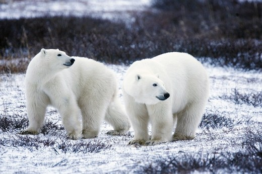 Polar Bears: White on the outside, but very black on the inside
