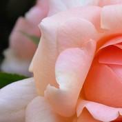 rosedean profile image