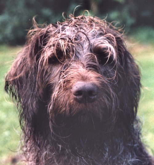 Wirehaired Pointing Griffon or Griffon Korthals