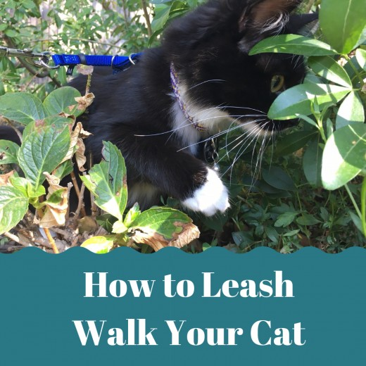 Indoor cats can get a taste of nature while walking on a leash.