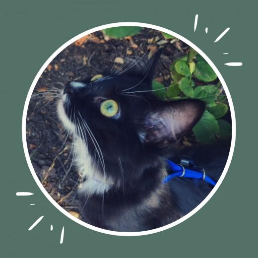 My cat, Luna, walking outside on her leash.