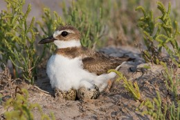 Plover hatching eggs  Photo from: http://www.georgiaseaturtlecenter.org/blog/wp-content/uploads/2009/05/wilsons-plover.jpg