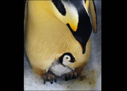 Emperor penguin     Photo from: http://animal.discovery.com/tv/a-list/creature-countdowns/dads/dads-02.html