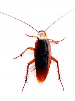 Cockroach Photo from: http://upload.wikimedia.org/wikipedia/commons/4/49/Cockroach_closeup.jpg