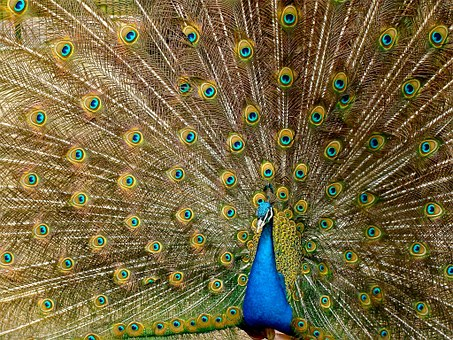 Male peafowl displaying plumage