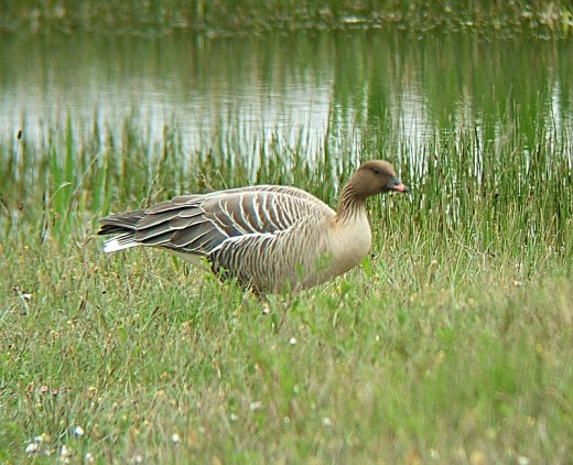 Pink-footed Geese arrive in the UK en masse during the Autumn to spend the winter in places such as Norfolk and the Solway Firth. Source: MPF via Wikimedia Commons