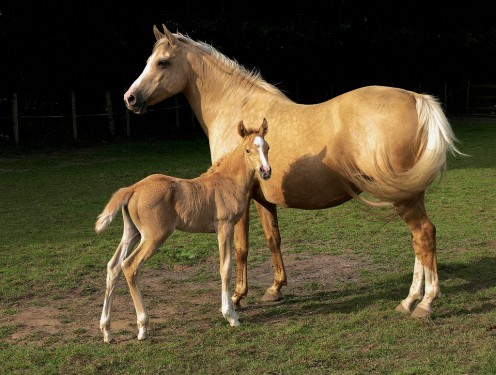 A Palomino Mare and Foal