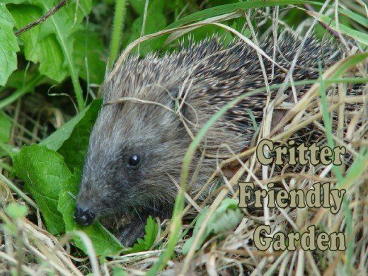 Hedgehog in a critter friendly garden
