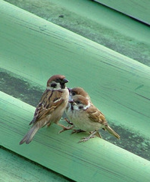 Thailands sparrows.  Was one of them our little guardian Angel?