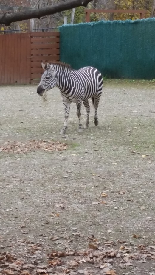 He was in the zoo, but I tried to pretend he was mine and standing in one of my paddocks at home.