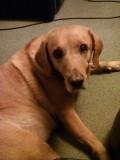 Labradors Rule