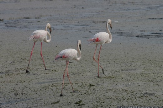 Greater flamingos like these are winter visitors to lakes and estuaries in Sindh province.