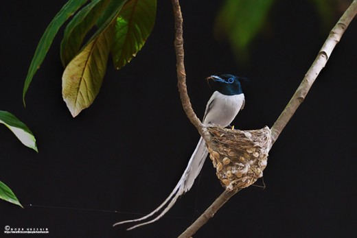 Asian paradise flycatchers from northern Punjab.