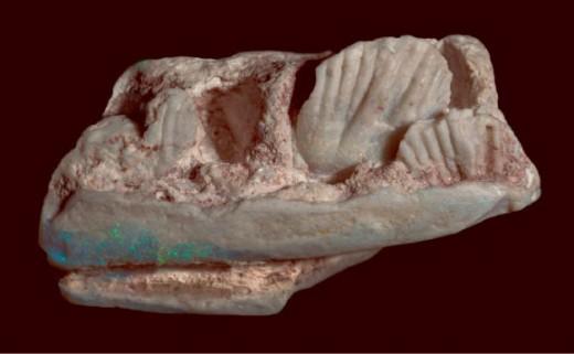 Opalized piece of Weewarrasaurus mandible and teeth.