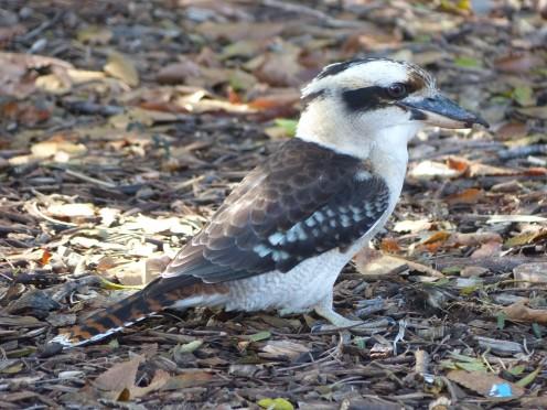 This is Kookaburra of Australia part of the kingfisher family.