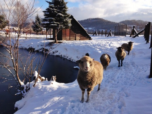 Winter in Vermont with sheep