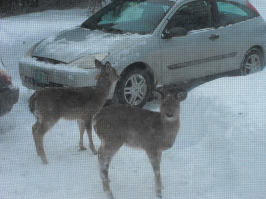 Sometimes white-tail deer walk right up into your driveway!