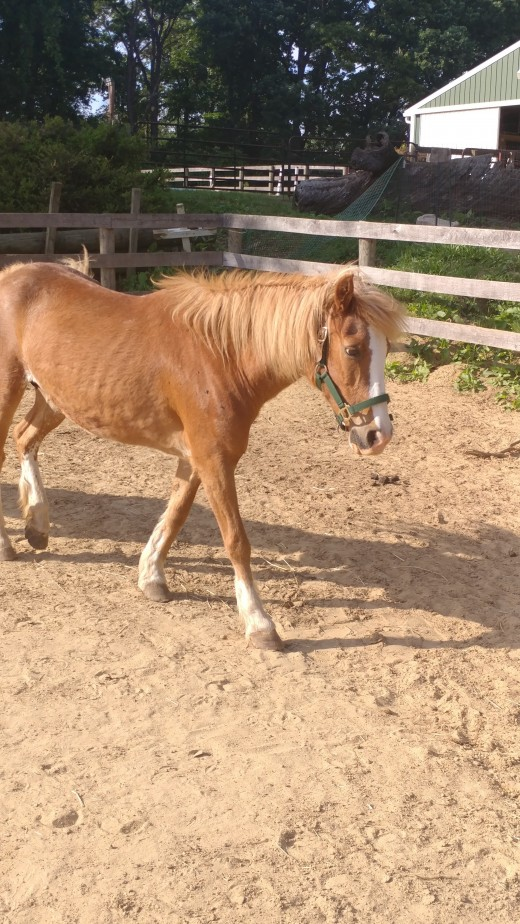 Ginger was rather thin when we got her. She did not come from the best situation. It was not one of purposeful neglect though, just lack of education on the owners part about the needs of a horse.