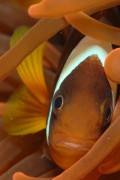 Fun Clownfish Facts
