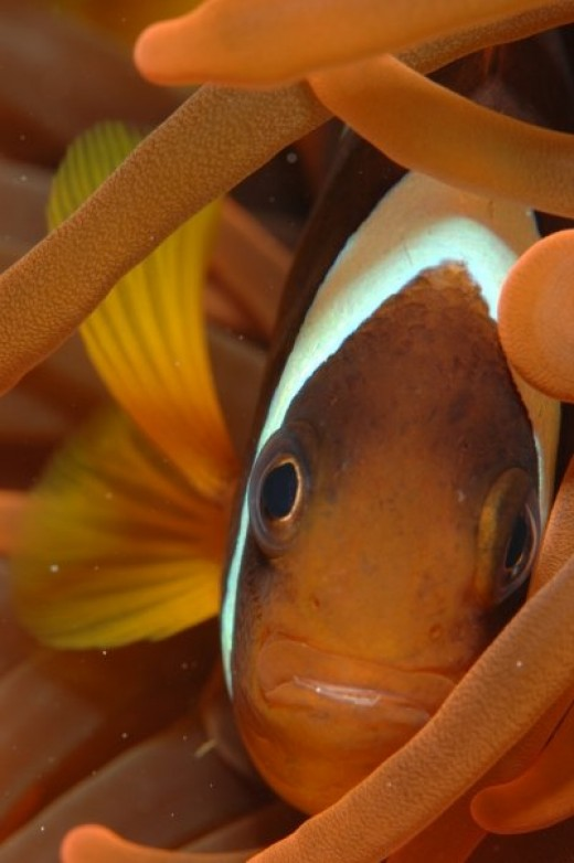 Clownfish picture of clownfish in the Red Sea.  This photo won a German wildlife photography competition.  Photo taken by Marcus should have got his last name.