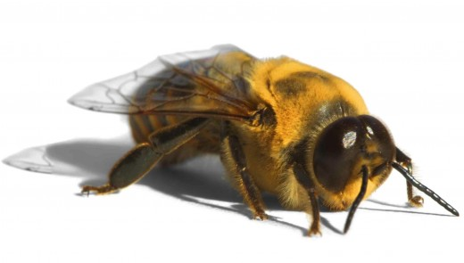 A big-eyed drone honey bee.
