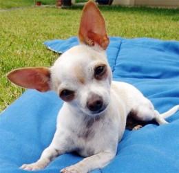 Short Hair Chihuahua Black And White Short Hair Chihuahua