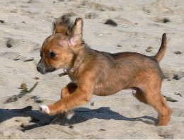 Logn Hair Chihuahua