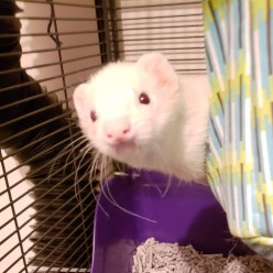 Ferret Health - All About the Ears