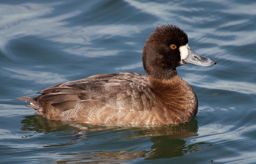 A photograph of an adult female Lesser Scaup- note the greyish back and flanks that are an important feature when separating them from Tufted Ducks.