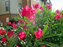 Nerium Oleander: The Beautiful Poisonous Flower