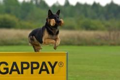 West German Shepherd Working Line Dogs