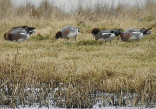 A small number of Eurasian Wigeon.