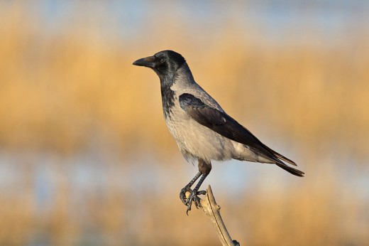 A photograph of a Hooded Crow taken near the Baltic Sea in Germany.