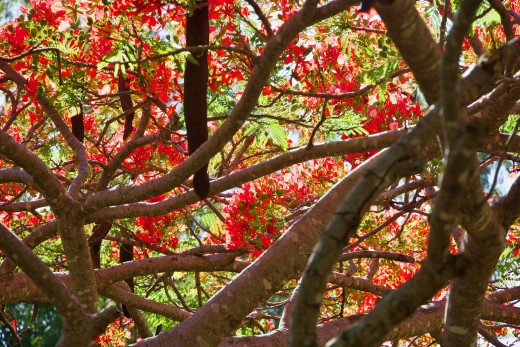 Poinciana (Flame Tree)