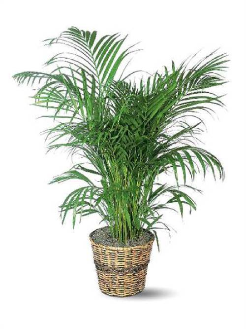 When it comes to areca palms, always look under the fronds to check for spider mites.