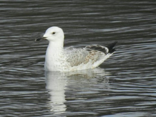 A photograph of the 1st-winter Caspian Gull that I saw at Sandwell Valley. A bird that has undoubtedly inspired plenty of debate.