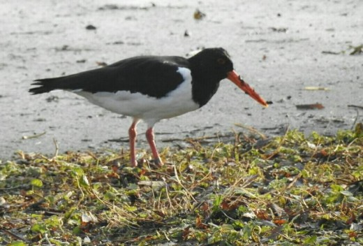 A photograph of an Eurasian Oystercatcher that was foraging close to Forge Mill Car Park.