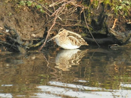 A photograph of one of the 5 Common Snipe to be found on Forge Mill Lake. Unfortunately I wasn't fast enough to get a shot of its smaller cousin.